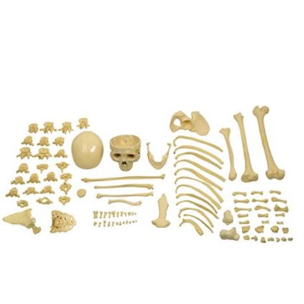 Bilateral Disarticulated Human Skeleton Life-Bone Set for Medical Students
